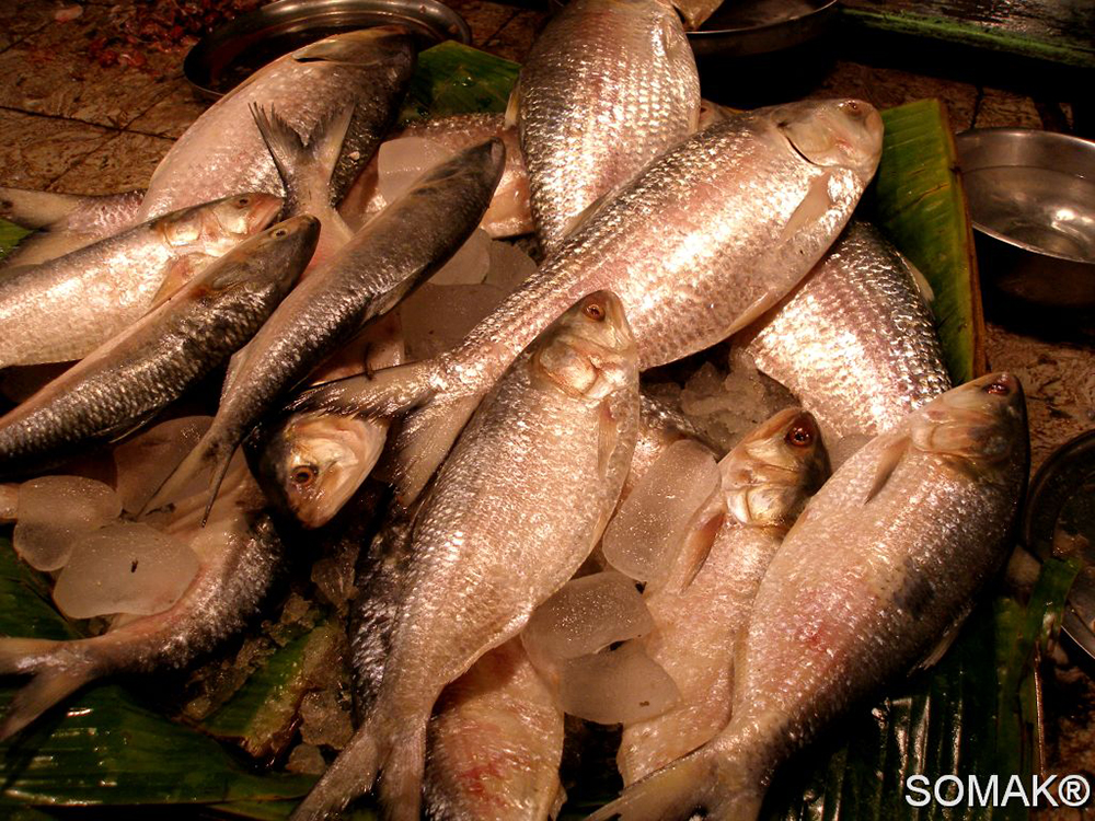 Illish (Hilsa Fish) Photo : Somak Sarkar